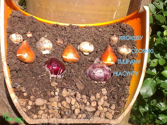 sadzenie roślin cebulowych na przekroju donicy pokazene położenie cebul tulipanów hiacyntów czosnków i krokusów IPROJEKT