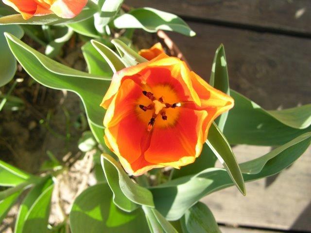portret tulipana