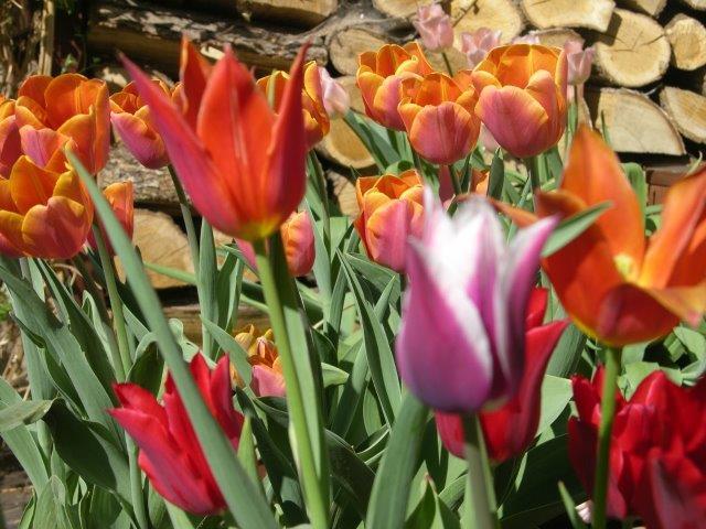 gąszcz tulipanów