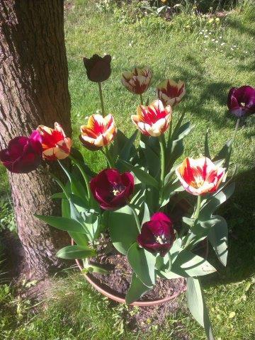 ciemne tulipany w donicy pod drzewem