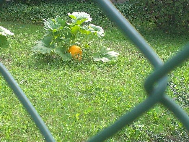 dynia ozdobą zielonego trawnika, w centrum ogrodu, wygląd dekoracyjny iprojekt