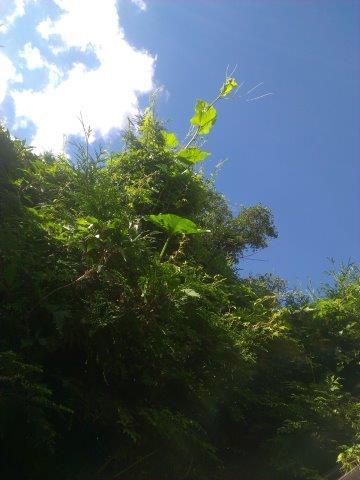 dynia jest tak silna ze wspina się na żywotnik i pnie się aż do nieba