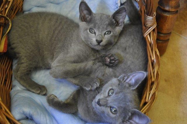 dwa małe kotki rosyjskie