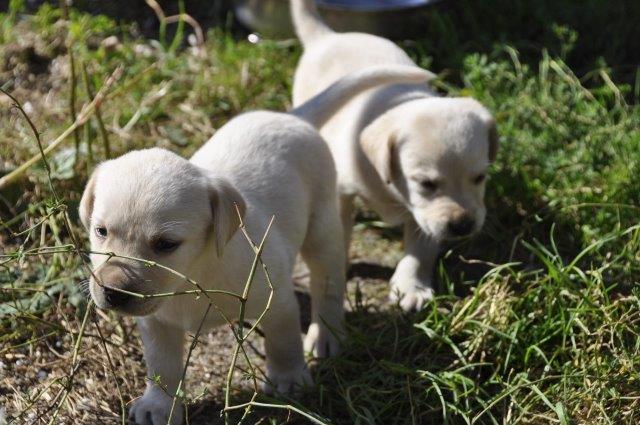 dwa labradory szczeniaki na trawie