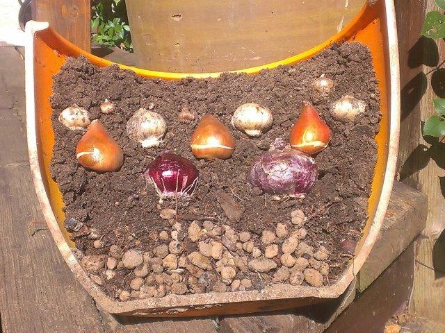 schemat sadzenia cebul kwiatowych w donicy