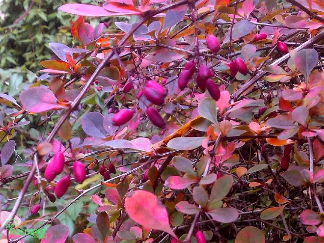 owoce berberysa