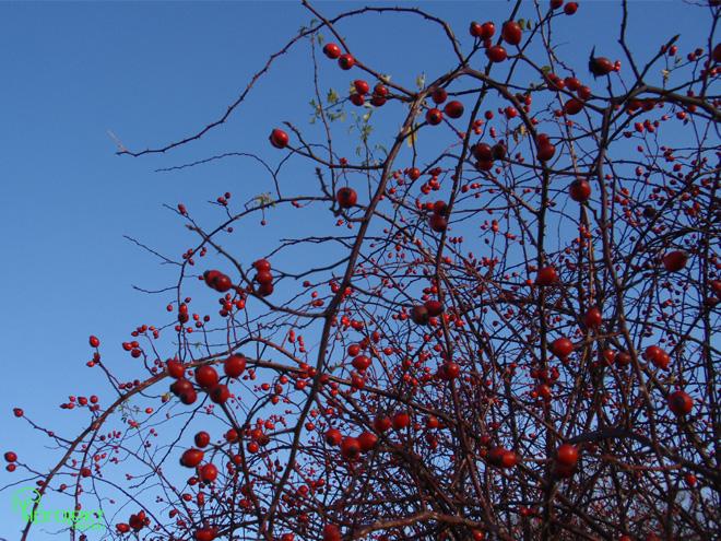 plątanina dzikiej róży i jejowoców