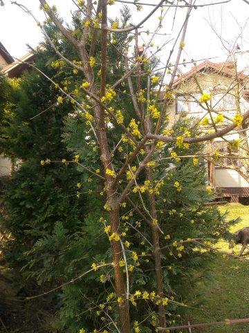 młody krzew derenia jadalnego na początku kwitnienia