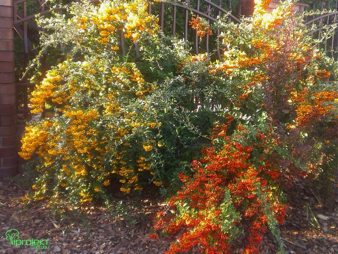 krzew ognika obsypany owocami