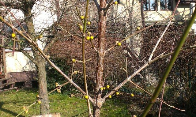 paki-derenia-wczesna-wiosna-1