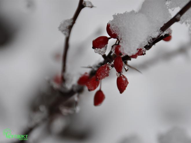 zimowy berberys-iprojekt