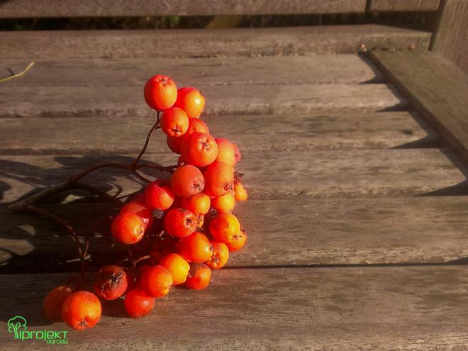 kiść owoców jarzębiny
