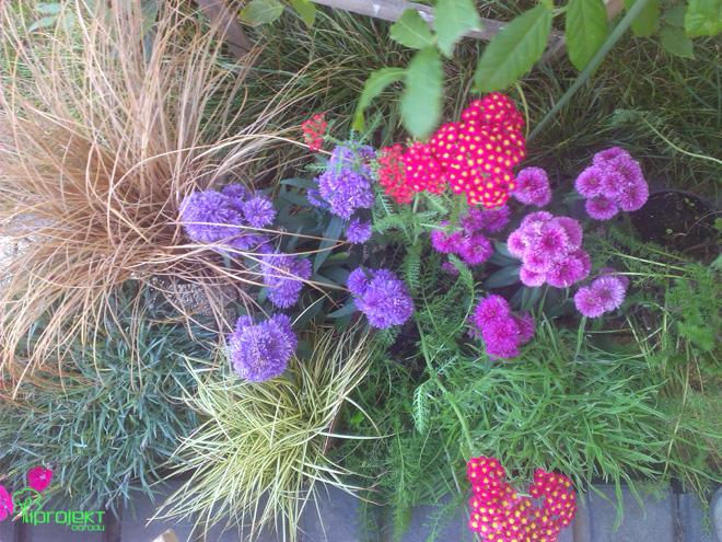 niebieskie i lila astry z czerwonym krwawnikiemjesienne byliny IPROJEKT