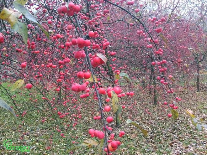 kicie rajskich jabłuszek
