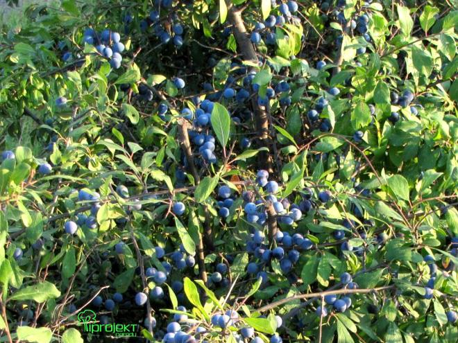 krzew tarniny obsypany owocami