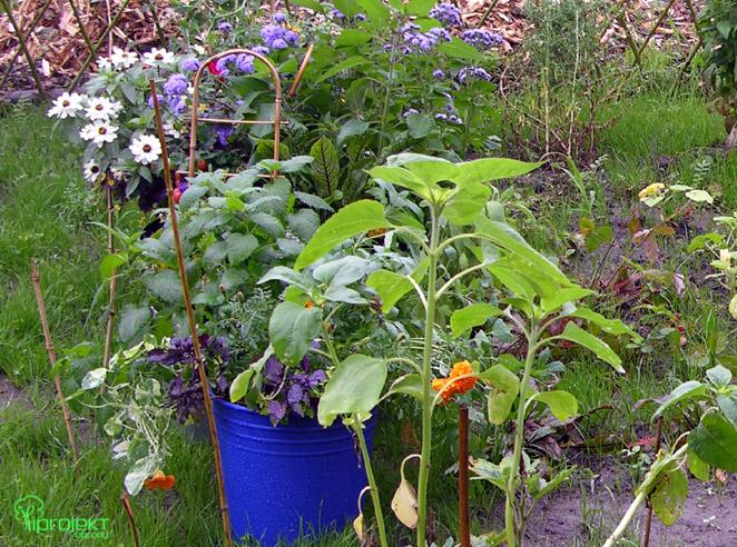 kwiaty i zioła w kolorowych wiadrach