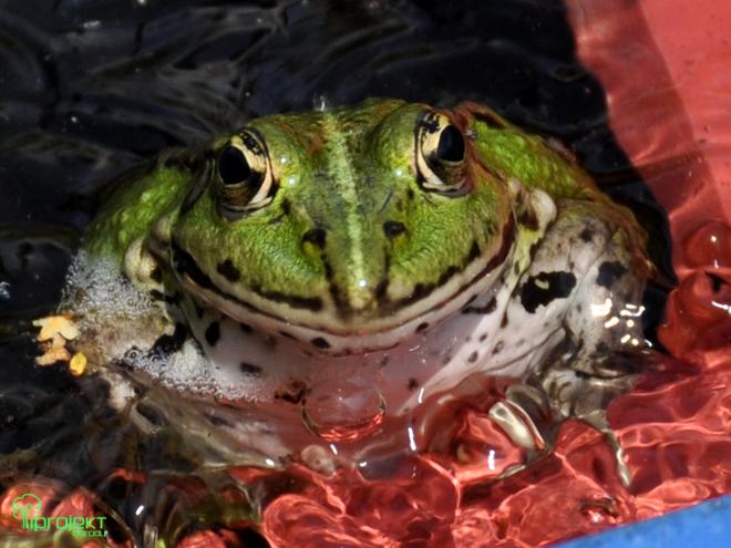 żaba 1