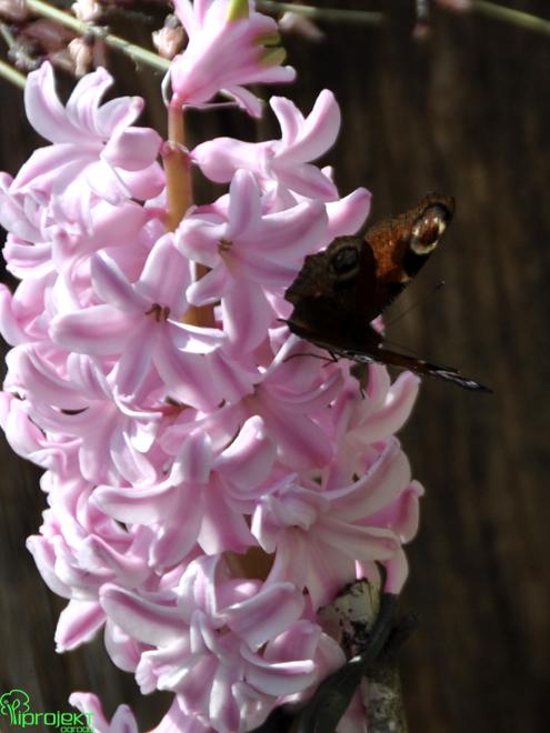 Wielkanocna kompozycja z roślin kwitnących na różowo IPROJEKT