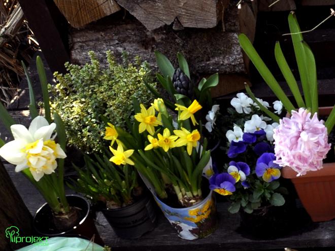 kwiaty zakupione do stworzenia wielkanocnych dekoracji IPROJEKT