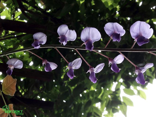 kwiat glicynii w pełnym rozkwicie IPROJEKT