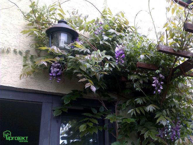 bujna glicyniaoplata lampę ogrodową IPROJEKT