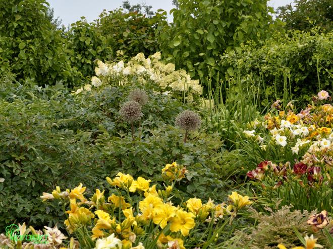żółte liliowce z owocnikami okazałych czosnków i hortensja ogród botaniczny IPROJEKT