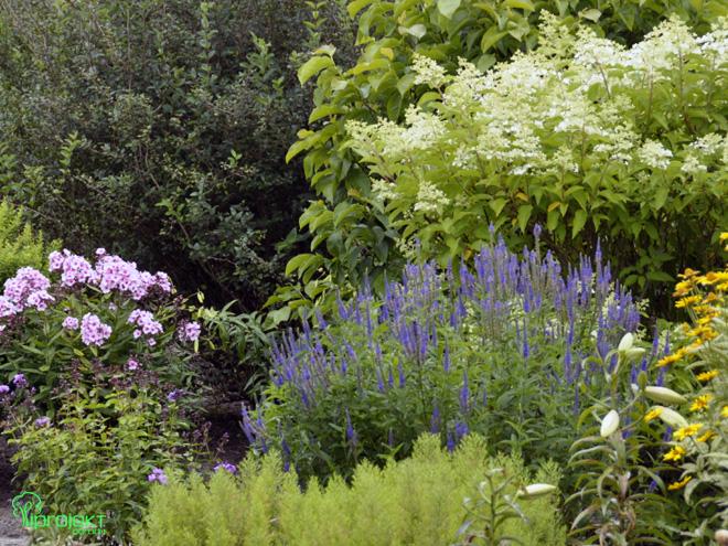 niebieski przetacznik pod białą hortensją ogród botaniczny IPROJEKT