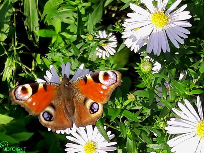 rusałka pawik kolorowy motyl na kwiatkach astra belgijskiego byliny jesienią IPROJEKT